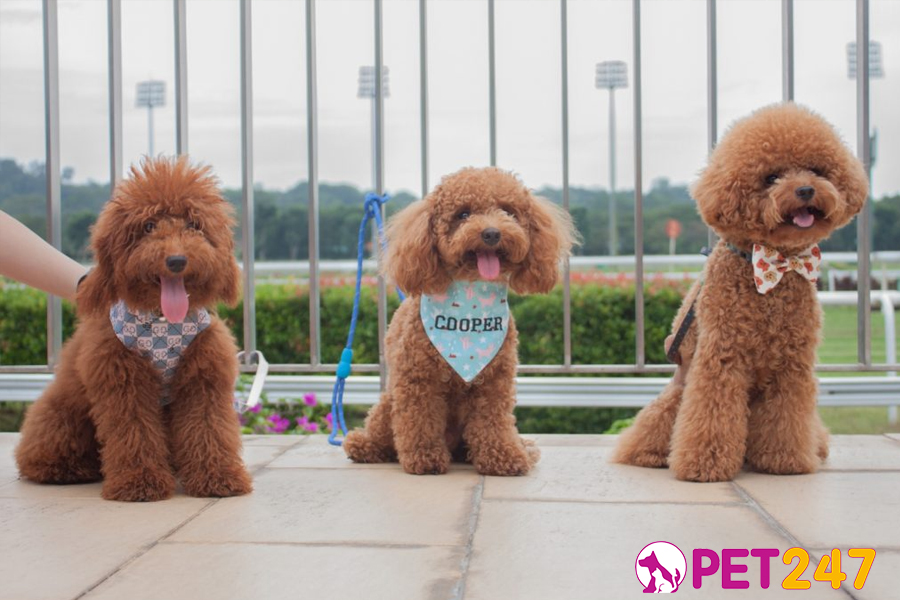 cho poodle vo cung thong minh 1